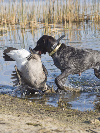 wirehair: Goose Hunting Stock Photo