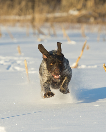 A hunting dog running in the snow Stock Photo