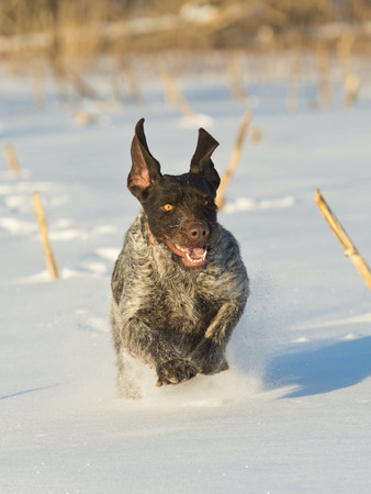 Running Hunting dog in the snow