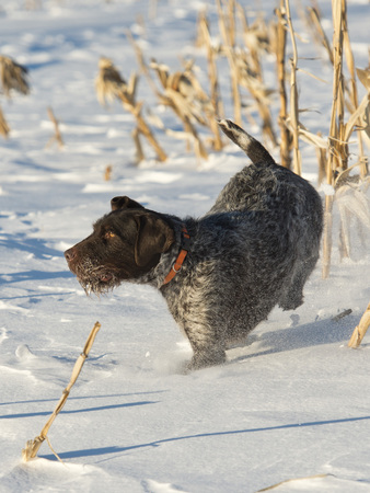 wirehair: Hunting Dog in the snow