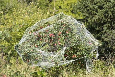 tree fruit: Covered Apple Tree