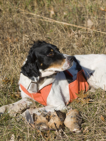 Woodcock Hunting Stock Photo - 69724350