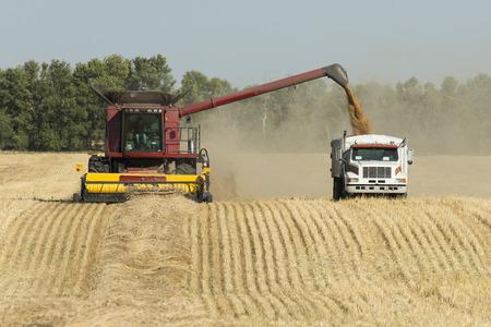 grain fields: Harvesting Grain
