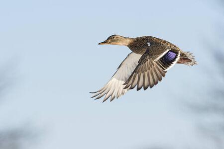 pato real: Flying Mallard Hen