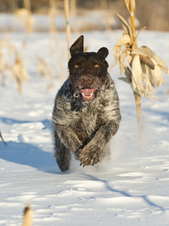 wirehair: A German Wirehair hunting dog running in the snow