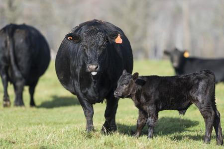 Black Angus cows and calves