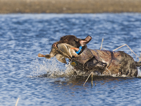 retrieve: A hunting dog with a duck