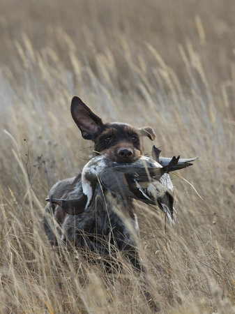 wirehair: A hunting dog with a duck
