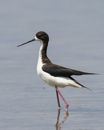 An endangered Hawaiian Stilt