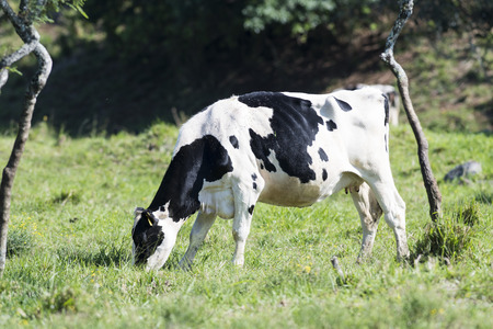 A Holstein Dairy Cow grazing in a field Stock Photo
