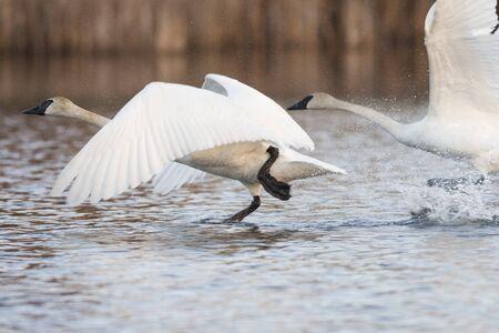A Trumpeter Swan taking flight