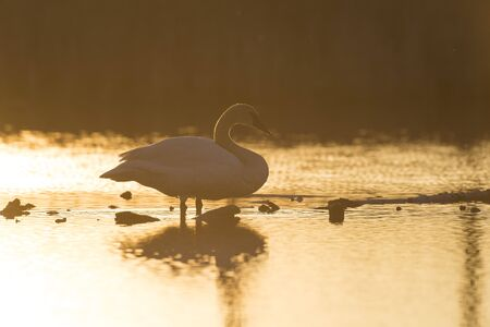 A Trumpeter Swan at sunset Stock Photo