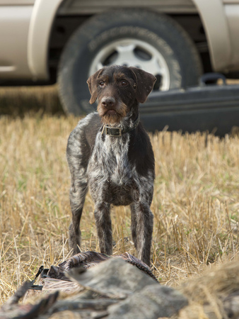 wirehair: Hunting Dog