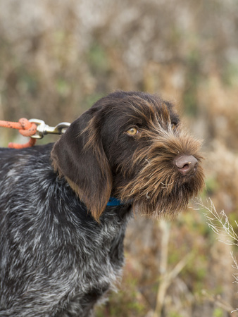 drahthaar: Hunting Dog