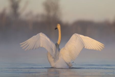 A Trumpter Swan flapping its wings on a misty morning