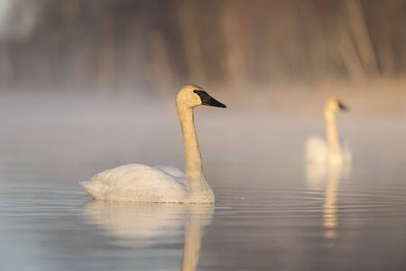 A pair of Trumpter Swans on a wetland Stock Photo - 78610041