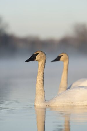 A pair of Trumpter Swans on a wetland