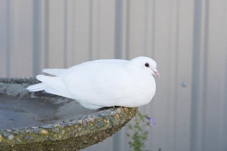 White Pigeon Banco de Imagens