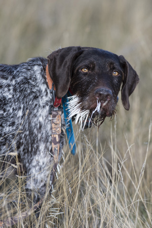 Hunting Dog with a mouthful of porcupine quills