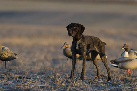 Duck hunting dog in a field in North Dakota