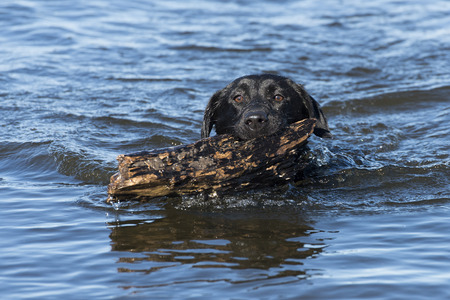Black Lab fetching a stick in the water