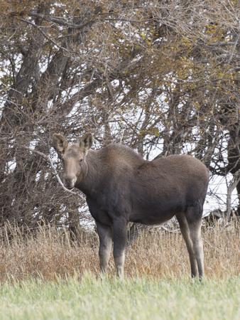 Calf moose in a field in North Dakota 版權商用圖片