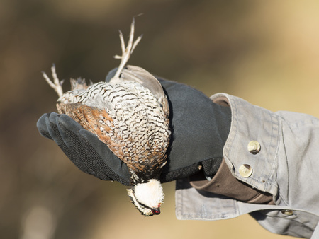 A harvested male Bobwhite Quail in Kansas Stock Photo