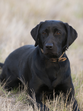 Black Lab hunting dog in a field of grass Stock Photo