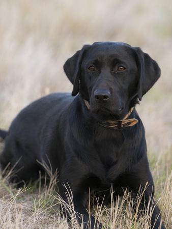 chien de chasse chien noir dans un champ d & # 39 ; herbe Banque d'images