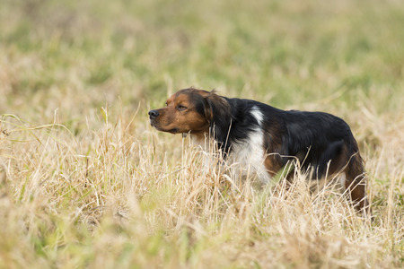 A Fench Brittany Spaniel hunting dog Banque d'images - 97660885