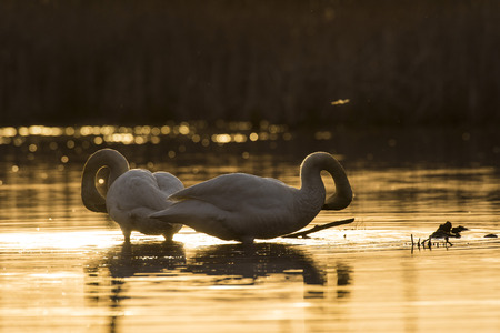 A pair of Trumpeter swans at sunset on a Minnesota Wetland Stock Photo - 97628884
