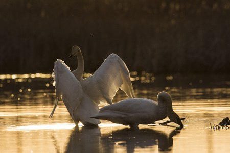 A pair of Trumpeter swans at sunset on a Minnesota Wetland Stock Photo