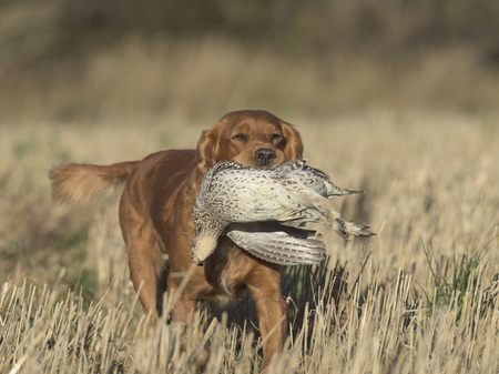 An English Cocker Spaniel with a Sharp-tailed Grouse Stockfoto