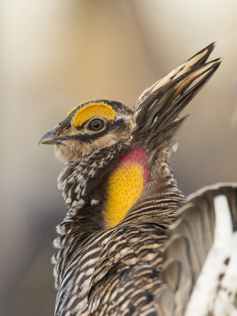 A Booming Greater Prairie Chicken in the spring Stockfoto