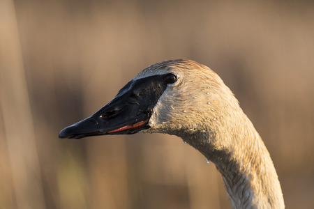 A close up of a Wild Trumpter Swan Stock Photo - 98267199