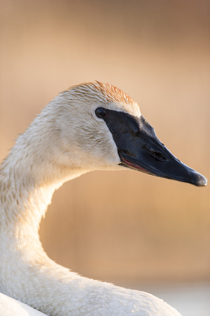 A close up of a Wild Trumpter Swan