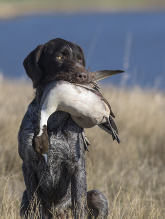 A drahthaar hunting dog with a pintail duck Stockfoto