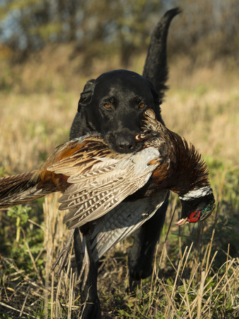 A Black Labrador Retreiver with a Rooster Pheasant Stock Photo