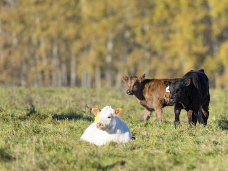 Beef calves in apasture on a late autumn day