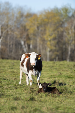 Cow with a newborn calf on a late autumn day Stockfoto