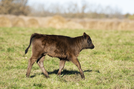 Black Angus calf in a pasture on a minnesota farm