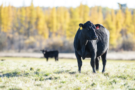 A Black Angus cow in a pasture Stockfoto
