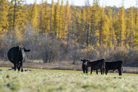 A Black Angus calf in a pasture on a Minnesota farm Stockfoto