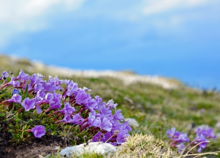 blue gentian flower mountain austria spring photo