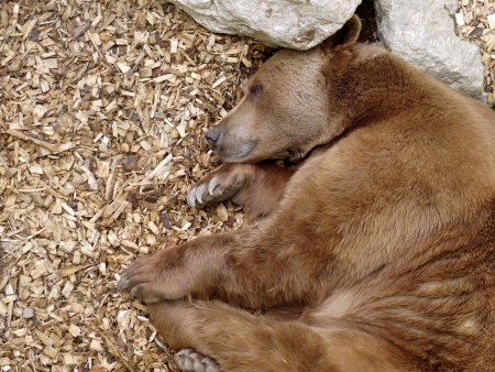 brown bear sleeping in the sun