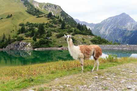 residual: Llama at the Traualpsee with mountains in the background