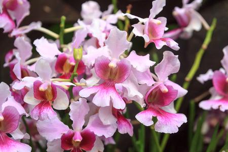 Close-up view of Vanda Miss Joaquim orchid  Фото со стока