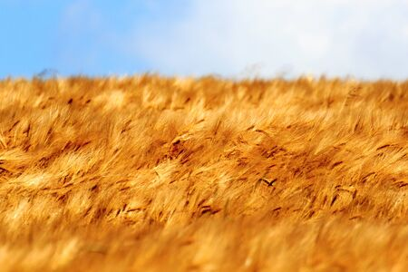 saxon: Grain field with barley and blue sky in Saxon Switzerland