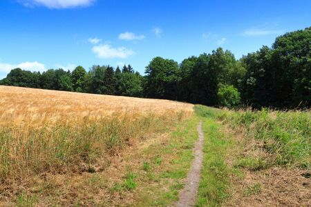 hiking path: Hiking path next to grain field with blue sky in Saxon Switzerland