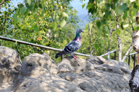 homing: Homing pigeon on rock outdoors Stock Photo